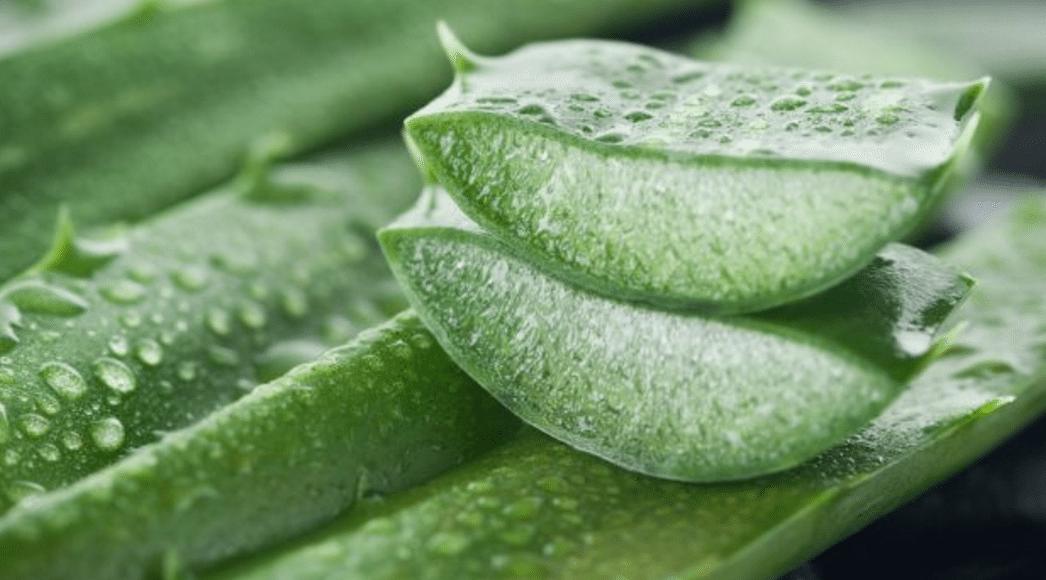 babosa plantas medicinais