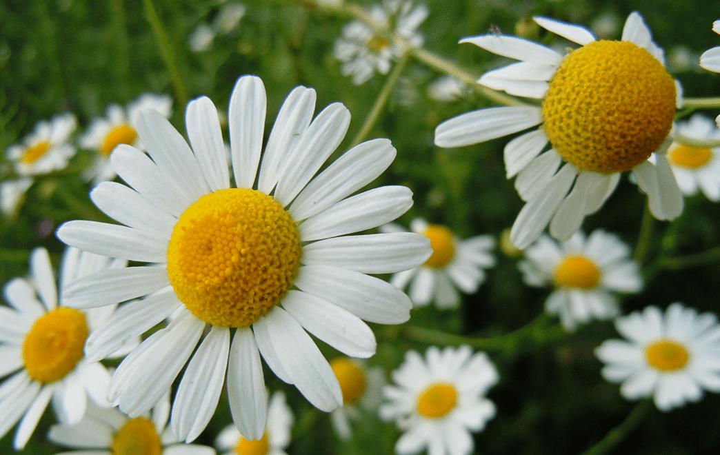 margarida plantas medicinais
