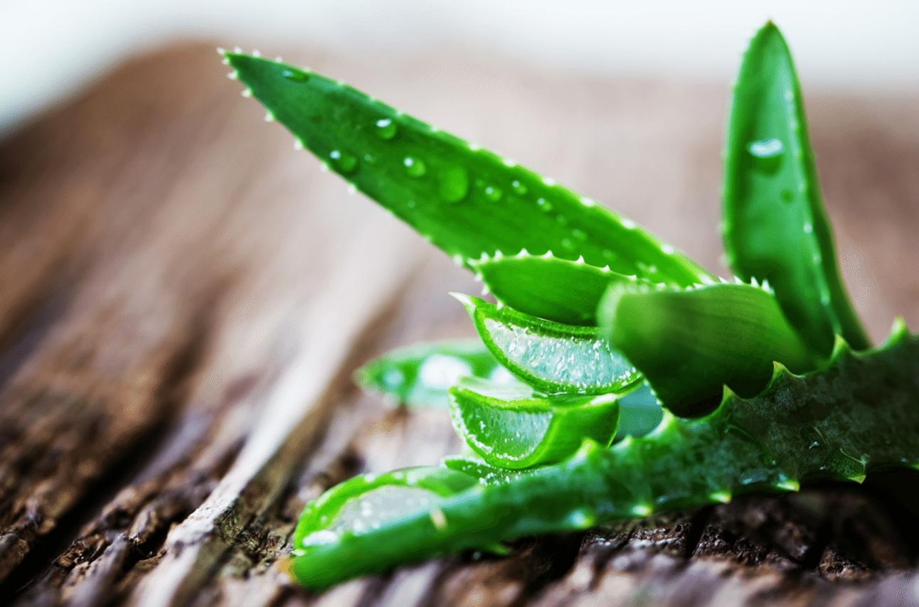Como plantar a Aloe Vera (babosa) em casa?