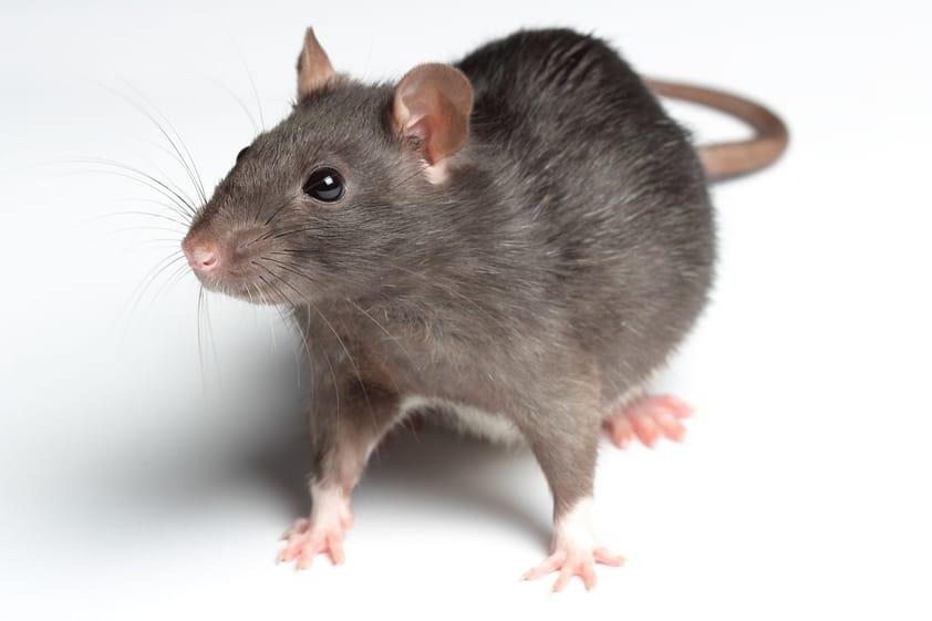 10 Principais Doenças Transmitidas pelos Ratos